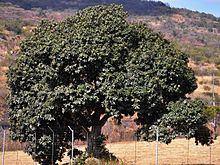 Englerophytum httpsuploadwikimediaorgwikipediacommonsthu