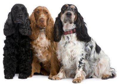 English Cocker Spaniel English Cocker Spaniels What39s Good About 39Em What39s Bad About 39Em