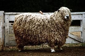English Leicester sheep New Zealand Sheepbreeders39 Association English Leicester
