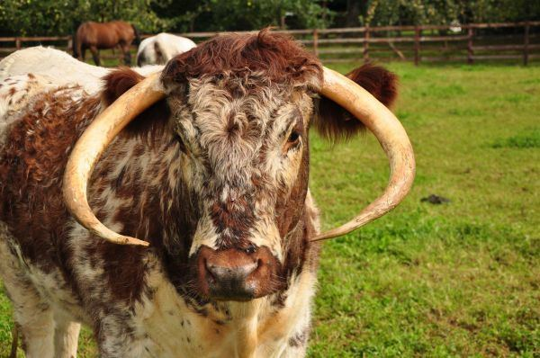English Longhorn English Longhorn Cattle