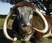English Longhorn httpsuploadwikimediaorgwikipediacommonsthu