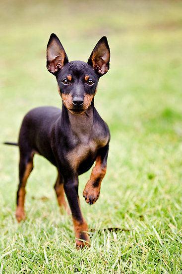English Toy Terrier (Black & Tan) wwwpetpawcomauwpcontentuploads201409ENGLI