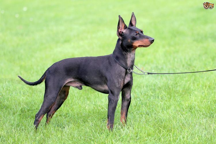 English Toy Terrier (Black & Tan) English toy terrier hereditary health and longevity Pets4Homes