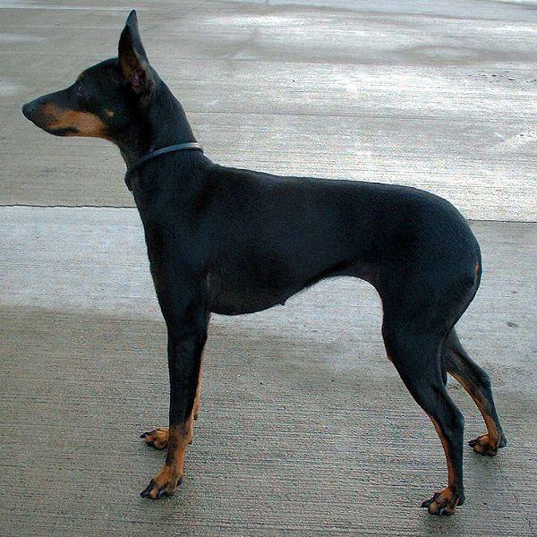 English Toy Terrier (Black & Tan) English Toy Terrier Black amp Tan Wikipedia