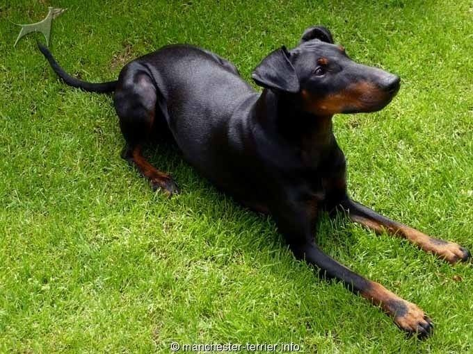 English Toy Terrier (Black & Tan) 1000 ideas about English Toy Terrier black And Tan on Pinterest