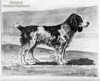 English Water Spaniel Archive