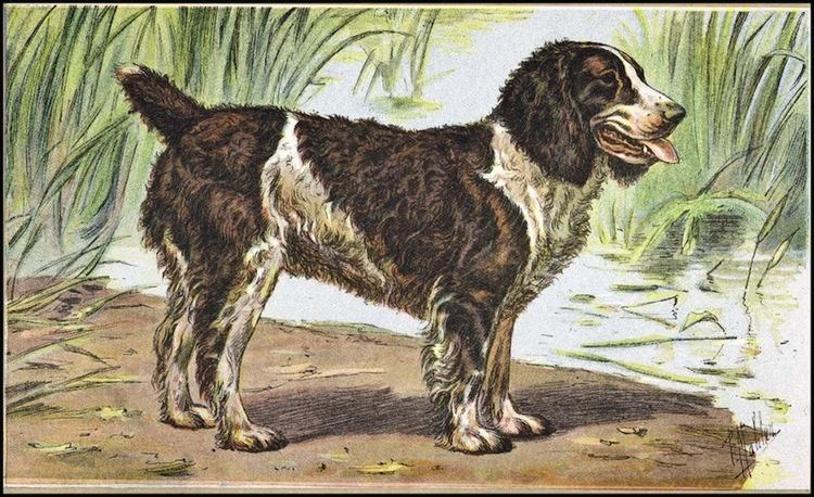 English Water Spaniel English Water Spaniel Dog Breed Standards
