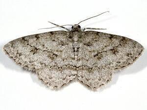 Engrailed (moth) mothphotographersgroupmsstateeduFiles1LiveNS