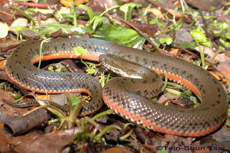 Enhydris Enhydris chinensis Chinese Water Snake