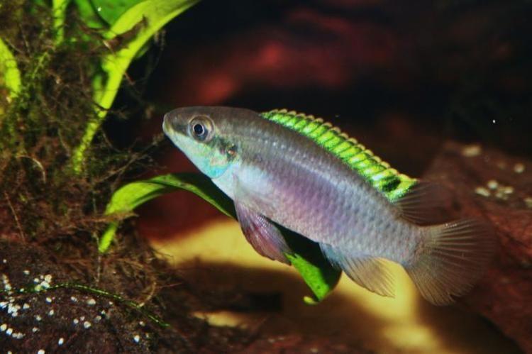 Enigmatochromis lucanusi Diaporama de Enigmatochromis lucanusi Association Aquariophilieorg