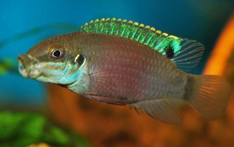 Enigmatochromis lucanusi New 39Pelvicachromis39 species The Cichlid Room Companion