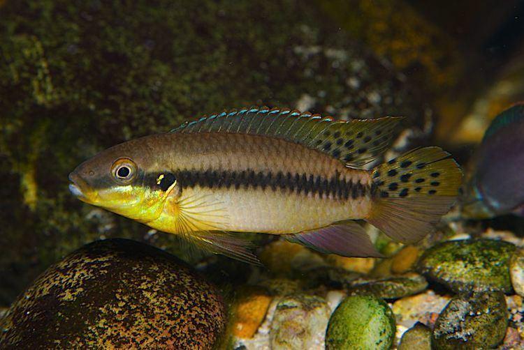 Enigmatochromis lucanusi wwwnvcwebnlsitesdefaultfilesalbumsEnigmatoc