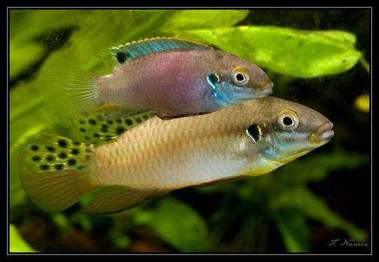 Enigmatochromis lucanusi Enigmatochromis lucanusi nov druh pestence Vivarium
