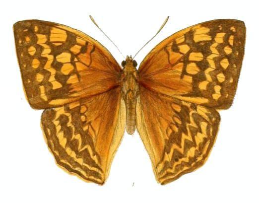 Enispe (butterfly)