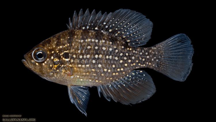 Enneacanthus gloriosus Bluespotted Sunfish Enneacanthus gloriosus