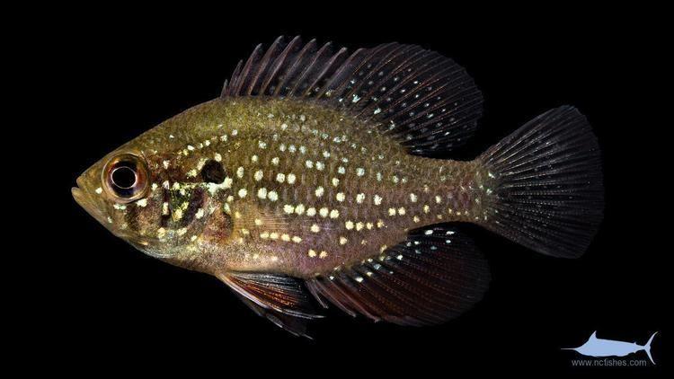 Enneacanthus gloriosus Enneacanthus gloriosus Fishes of North Carolina