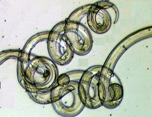 Enoplea Nematode on emaze