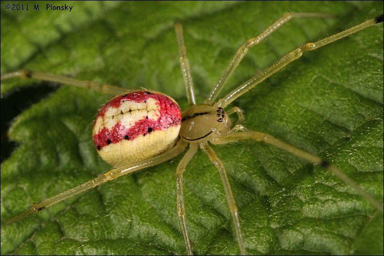Enoplognatha Candy Stripe Spider Enoplognatha ovata photo M Plonsky photos