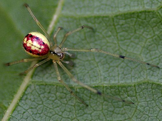Enoplognatha Cobweb Spider Enoplognatha ovata BugGuideNet