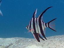 Enoplosus armatus httpsuploadwikimediaorgwikipediacommonsthu