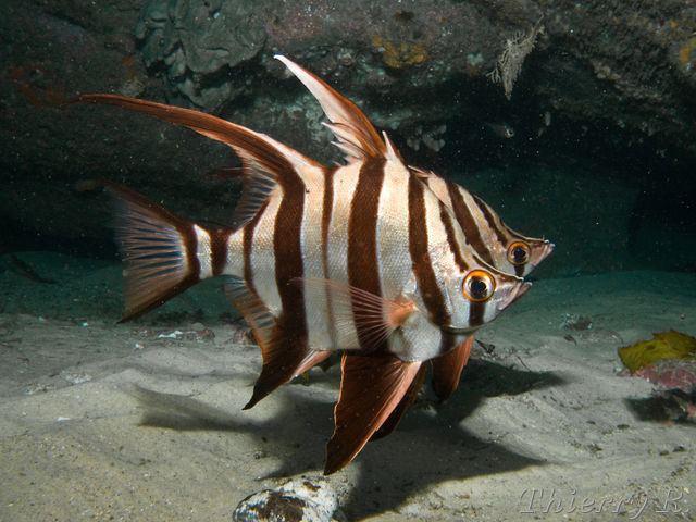 Enoplosus armatus Scuba Diving Photos Photos de Plonge