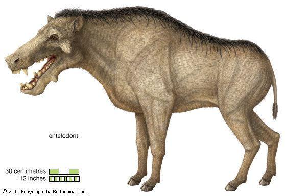Entelodont entelodont extinct mammal Britannicacom