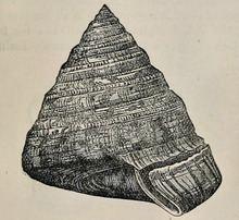 Entemnotrochus adansonianus httpsuploadwikimediaorgwikipediacommonsthu