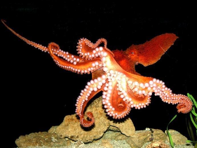 Enteroctopus dofleini Enteroctopus dofleini Giant octopus Octopus dofleini