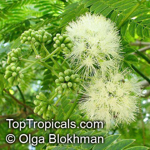 Enterolobium contortisiliquum Enterolobium contortisiliquum Mimosa contortisiliqua Orelhade