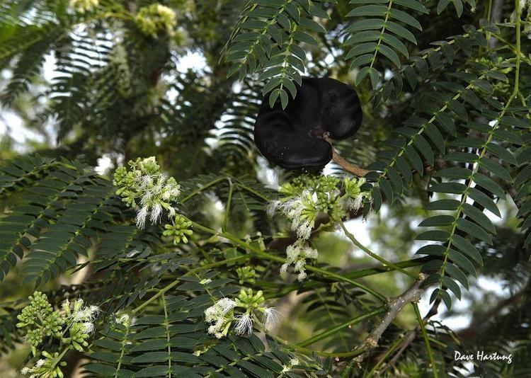 Enterolobium contortisiliquum Flora of Zimbabwe Cultivated species information individual