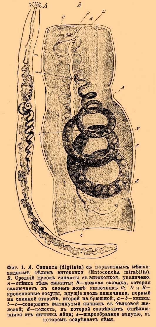 Entoconcha mirabilis