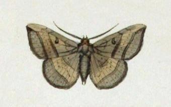 Entomogramma