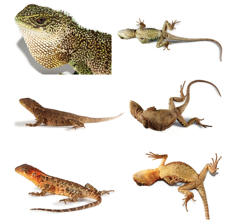 Enyalioides Three new species of woodlizards Hoplocercinae Enyalioides from