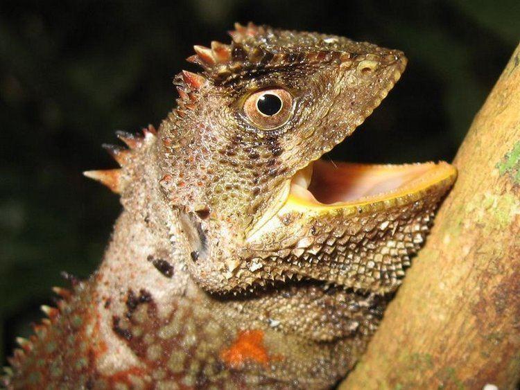 Enyalioides Enyalioides palpebralis The Reptile Database