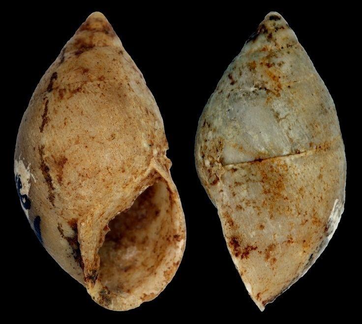 Eoborus fusiforme