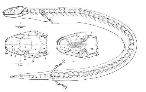 Eocaecilia Eocaecilia Why Evolution Is True