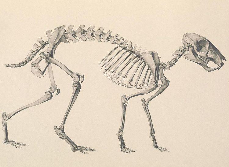 Eocardiidae