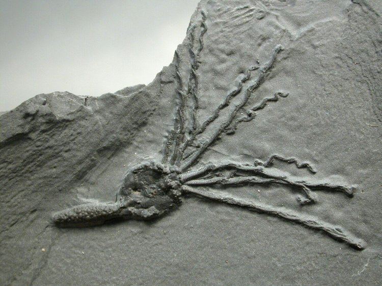 Eocrinoidea Gogia spiralis Eocrinoid Fossil