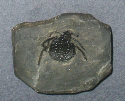 Eophrynus httpsuploadwikimediaorgwikipediacommonsthu
