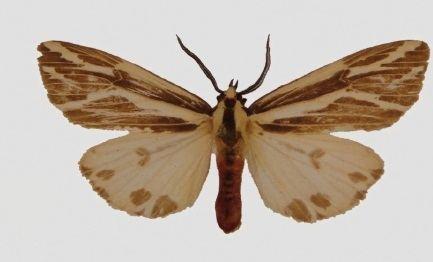 Eospilarctia yuennanica