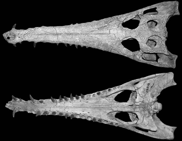 Eosuchus