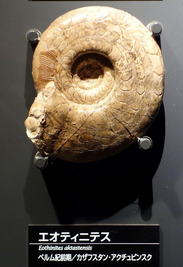 Eothinitidae