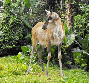 Eotragus Antilope Eotragus