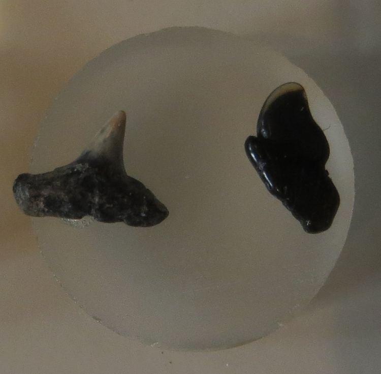 Eotrigonodon