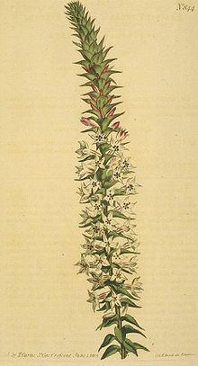 Epacris purpurascens var. purpurascens httpsuploadwikimediaorgwikipediacommonsthu