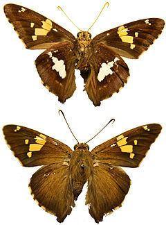 Epargyreus httpsuploadwikimediaorgwikipediacommonsthu