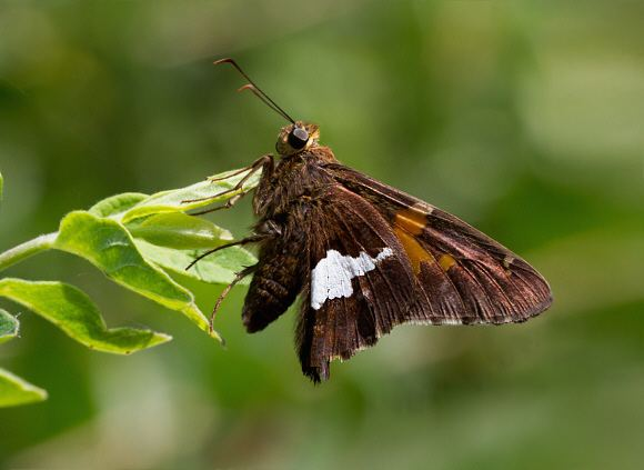 Epargyreus clarus Butterflies of North America Epargyreus clarus