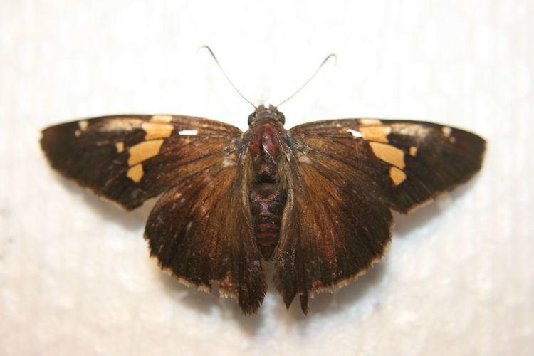 Epargyreus clarus Epargyreus clarus Wikipedia