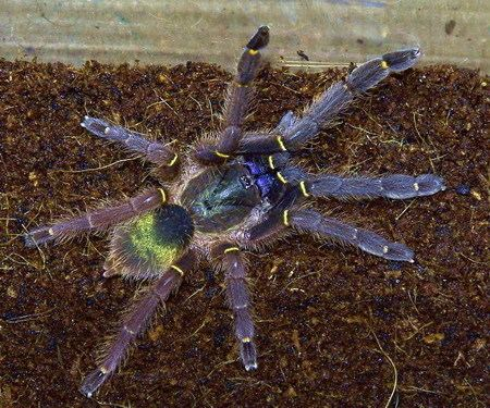 Ephebopus cyanognathus March 2016 Tarantula of the Month Ephebopus cyanognathus tarantulas