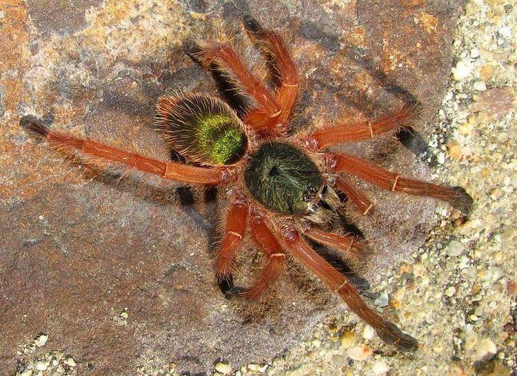 Ephebopus uatuman 1000 images about Pet Arachnid on Pinterest Singapore Cobalt